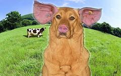 Ein Schweinehund auf einer Wiese